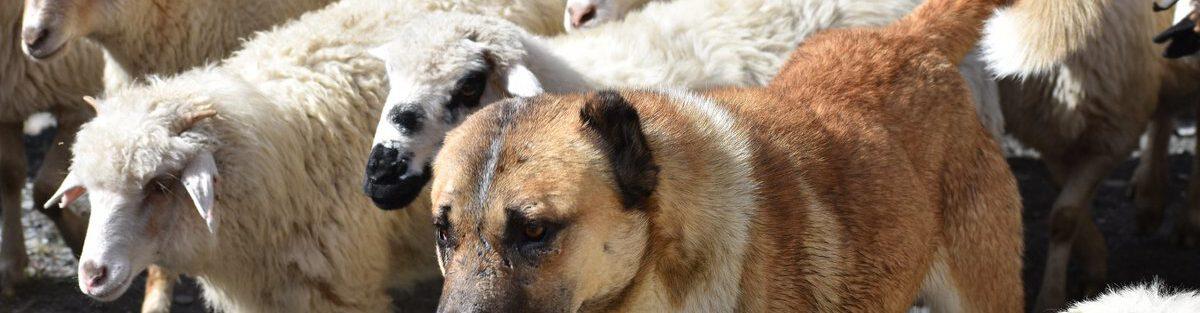 Shepherd's Life